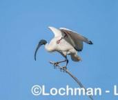 Threskiornis molucca - Australian White Ibis LLW-912 ©Jiri Lochman - Lochman LT