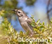Chrysococcyx osculans Black-eared Cuckoo LLW-659 ©Jiri Lochman - Lochman LT