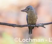 Dacelo leachii Blue-winged Kookaburra LLW-686 ©Jiri Lochman - Lochman LT