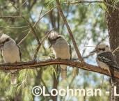 Dacelo novaeguineae Laughing Kookaburra LLR-698 ©Jiri Lochman - Lochman LT