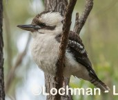 Dacelo novaeguineae Laughing Kookaburra LLR-699 ©Jiri Lochman - Lochman LT