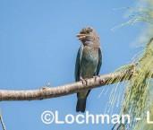 Eurystomus orientalis Dollarbird LLW-677 ©Jiri Lochman - Lochman LT