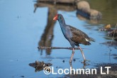 Porphyrio porphyrio Purple Swamphen LLX-043 ©Jiri Lochman - Lochman LT