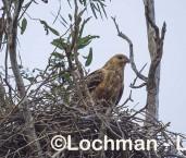 Haliastur sphenurus Whistling Kite LLX-299 ©Jiri Lochman - Lochman LT