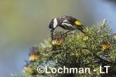 Phylidonyris nigra White-cheeked Honeyeater LLX-252 ©Jiri Lochman - Lochman LT