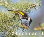 Phylidonyris nigra White-cheeked Honeyeater LLX-254 ©Jiri Lochman - Lochman LT