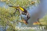 Phylidonyris nigra White-cheeked Honeyeater LLX-255 ©Jiri Lochman - Lochman LT