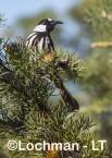 Phylidonyris nigra White-cheeked Honeyeater LLX-256 ©Jiri Lochman - Lochman LT