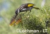 Phylidonyris nigra White-cheeked Honeyeater LLX-260 ©Jiri Lochman - Lochman LT