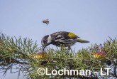 Phylidonyris nigra White-cheeked Honeyeater LLX-264 ©Jiri Lochman - Lochman LT