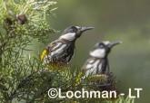 Phylidonyris nigra White-cheeked Honeyeater LLX-270 ©Jiri Lochman - Lochman LT