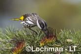 Phylidonyris nigra White-cheeked Honeyeater LLX-271 ©Jiri Lochman - Lochman LT
