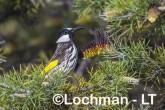 Phylidonyris nigra White-cheeked Honeyeater LLX-272 ©Jiri Lochman - Lochman LT