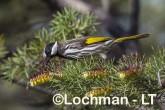 Phylidonyris nigra White-cheeked Honeyeater LLX-273 ©Jiri Lochman - Lochman LT