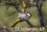Phylidonyris nigra White-cheeked Honeyeater LLX-274 ©Jiri Lochman - Lochman LT