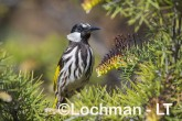 Phylidonyris nigra White-cheeked Honeyeater LLX-275 ©Jiri Lochman - Lochman LT