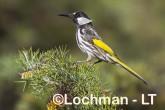 Phylidonyris nigra White-cheeked Honeyeater LLX-276 ©Jiri Lochman - Lochman LT