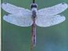 dragonflies-web