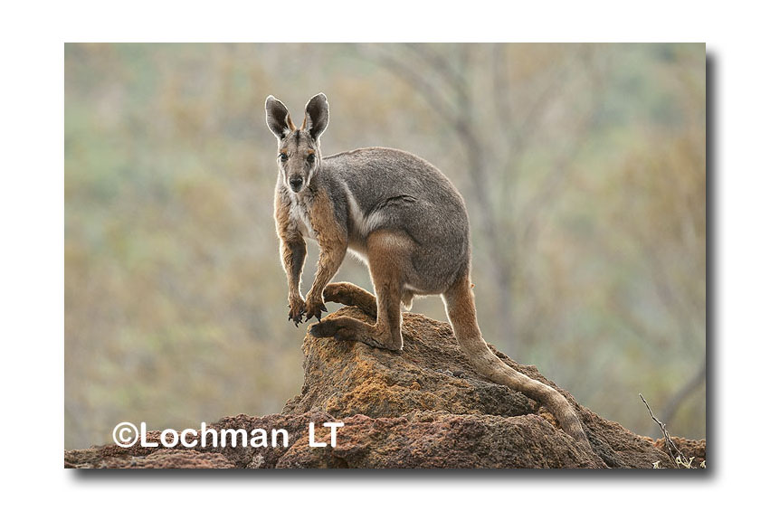 Mammals-Rock Wallabies - Genus Petrogale